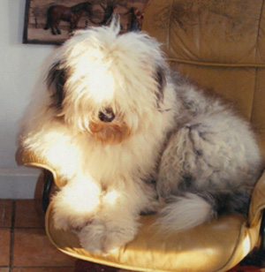 # Old English Sheepdog