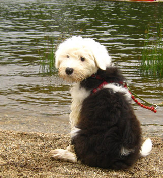 Old English Sheepdog pupy