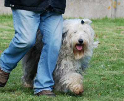 Old English Sheepdog at work